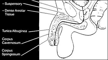 Publication Penile – 1